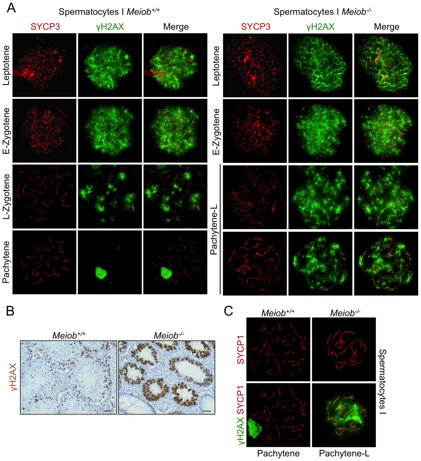 γH2AX is persistent in <i>Meiob</i><sup>−/−</sup> spermatocytes.