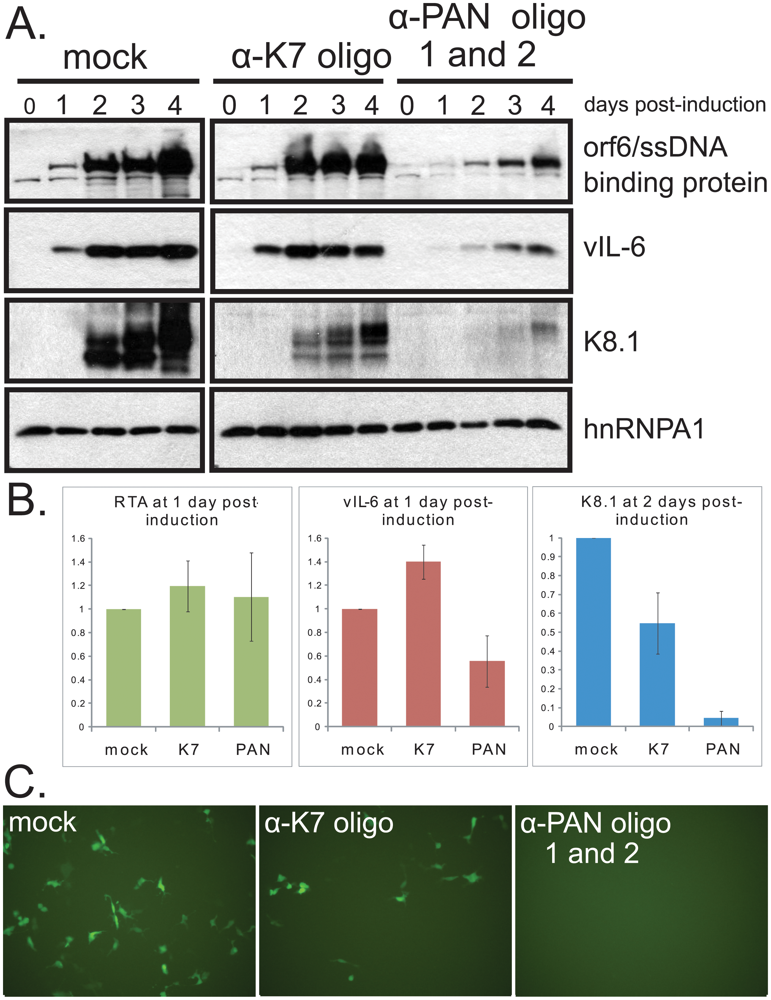Knockdown of PAN RNA adversely affects gene expression in iSLK.219 cells, with a more pronounced effect on late genes.