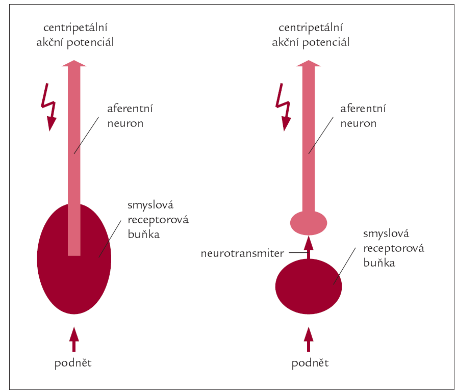 Schéma 1. Dvojí možné uspořádání smyslových receptorů.