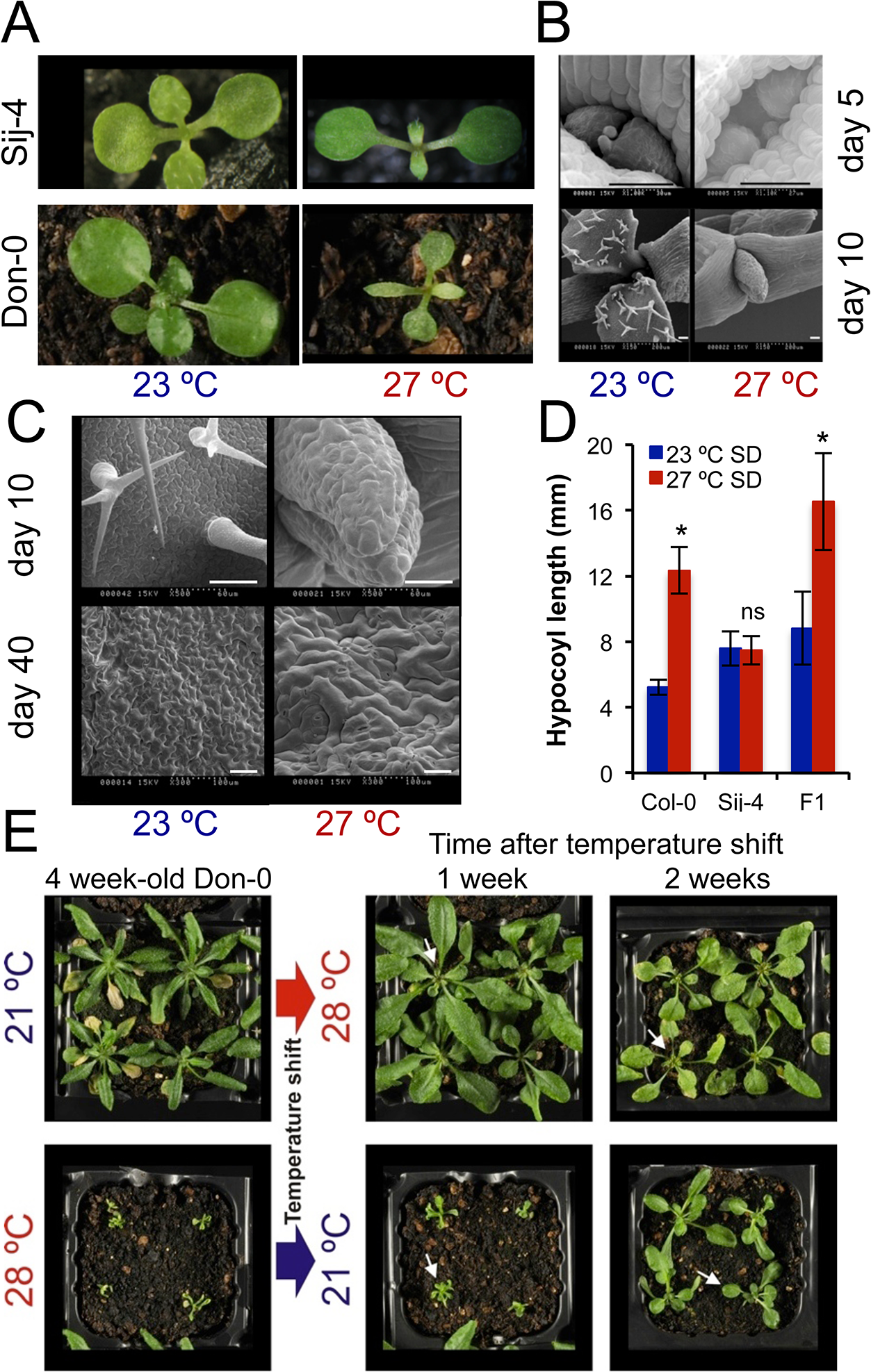 <i>ICA1 g</i>rowth phenotypes in natural accessions of Arabidopsis depend on temperature.