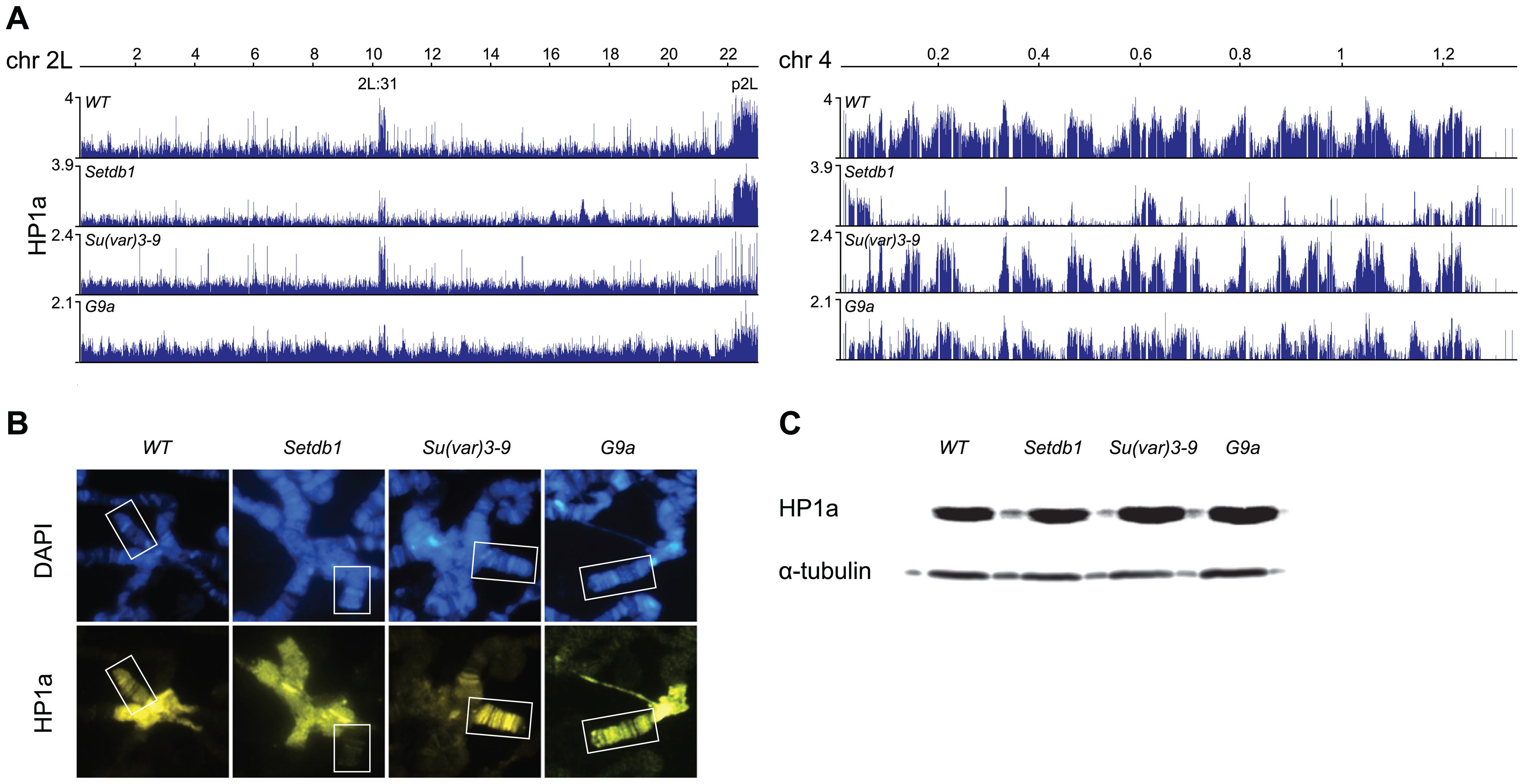 HP1a profiles in HKMT mutants.