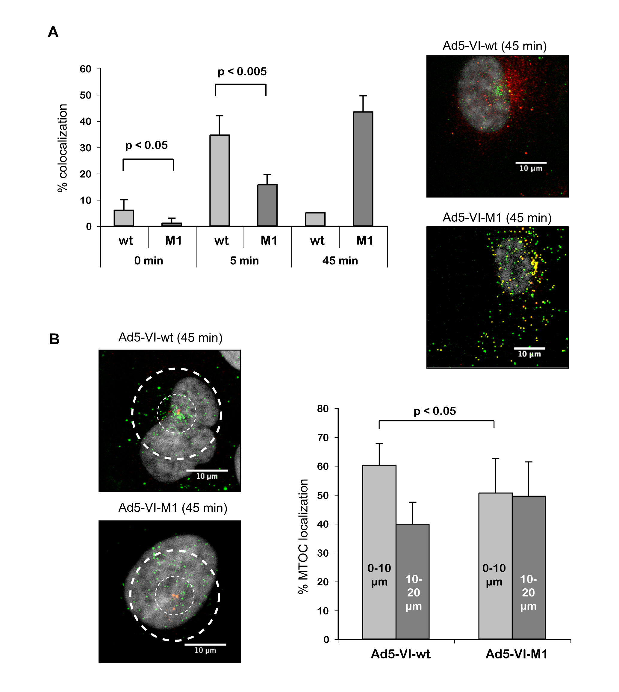 Adenovirus with altered PPxY motif lacks efficient protein VI release and shows reduced MTOC accumulation.