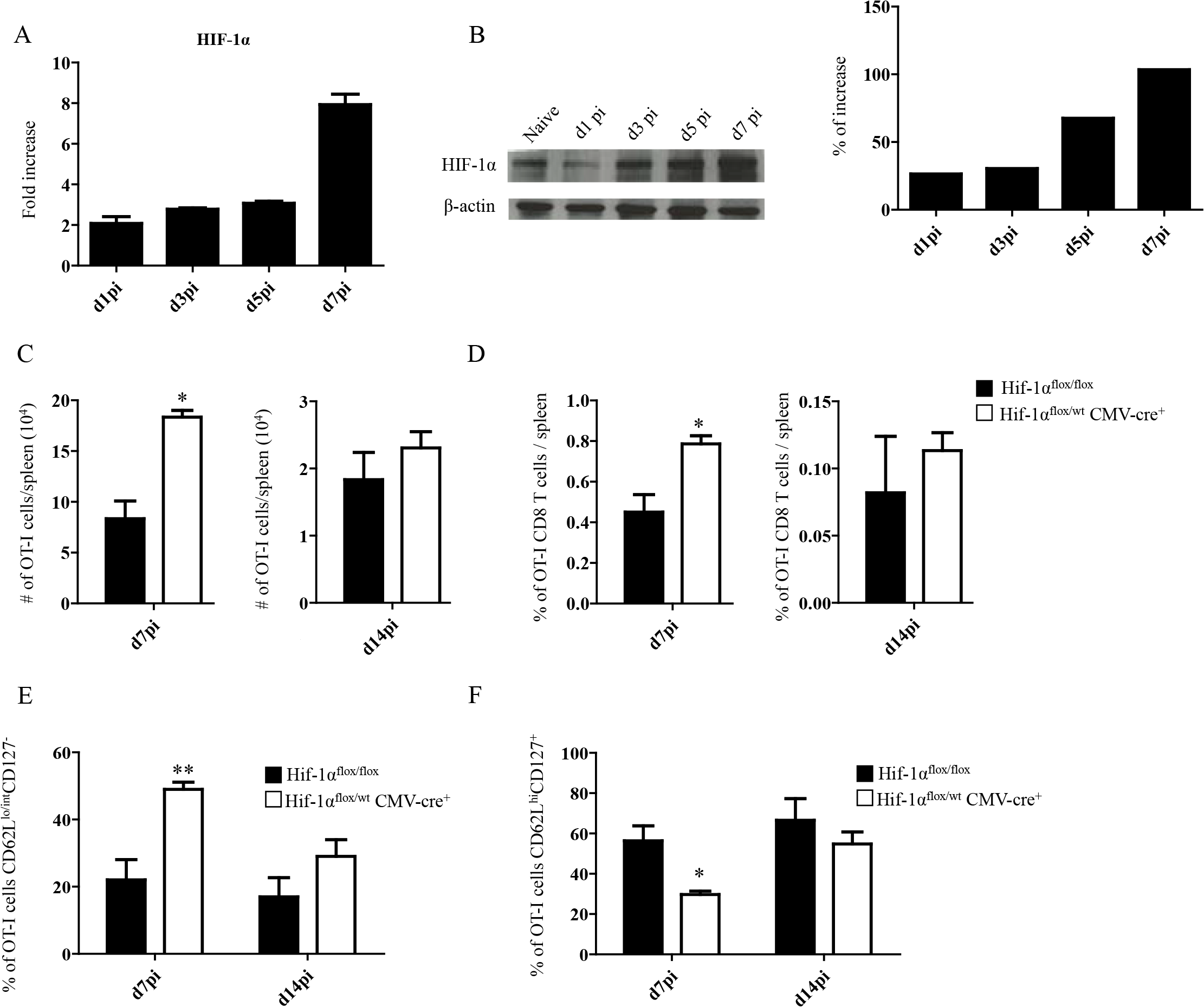 Upregulation of HIF-1α in the spleen restricts CD8<sup>+</sup> T cell expansion.