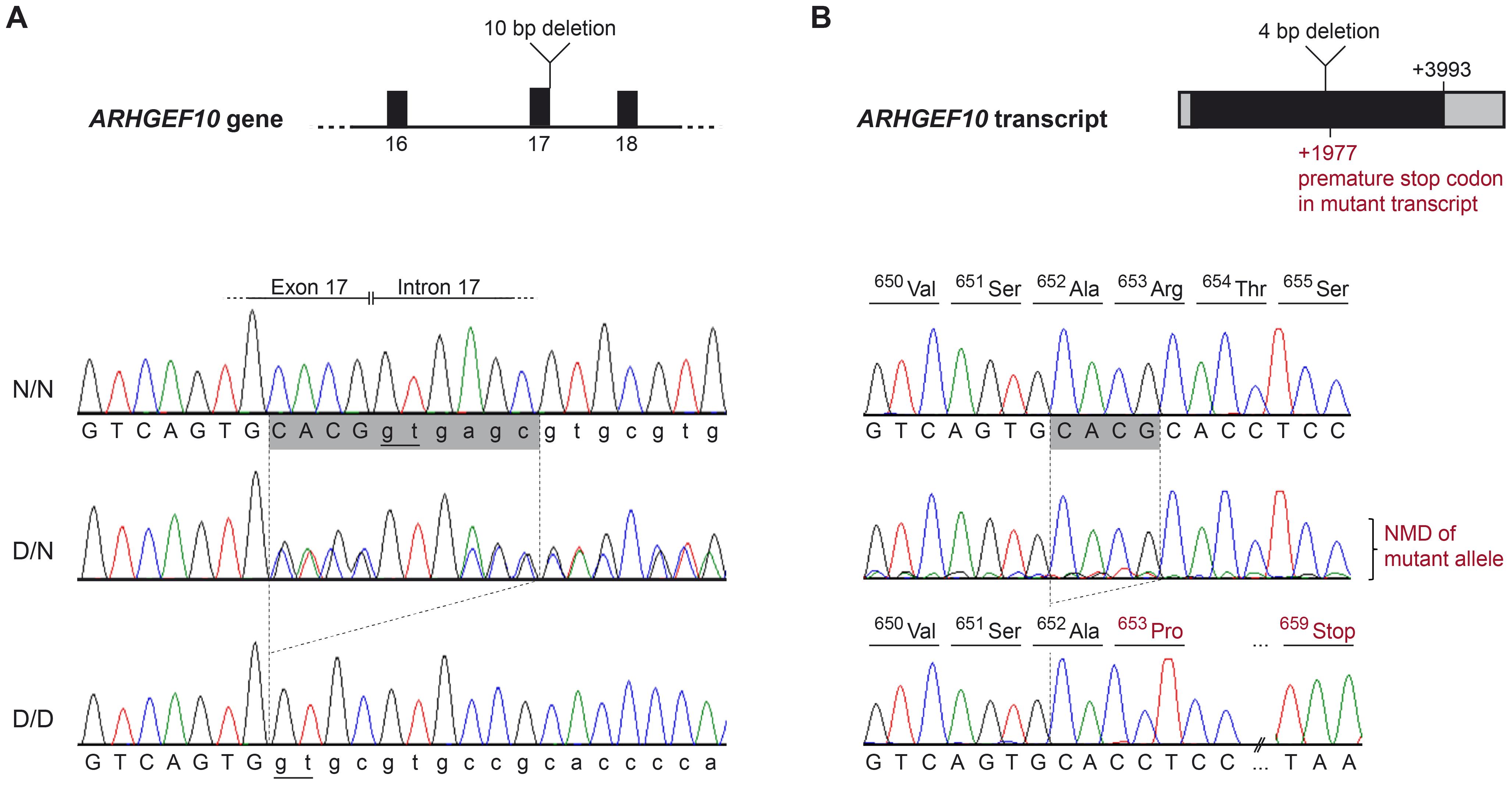 <i>ARHGEF10</i> mutation analysis.