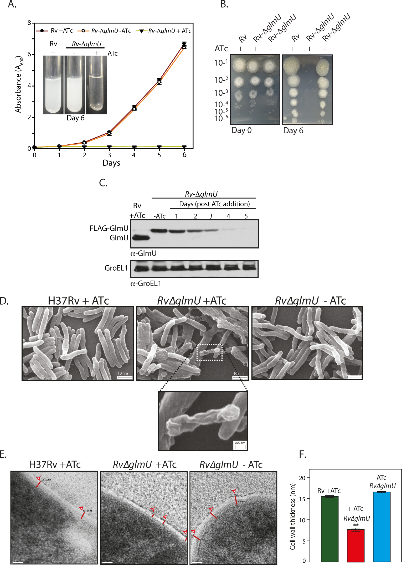 GlmU<sub>Mtb</sub> depletion affects the bacterial survival by perturbing the cell wall structure.