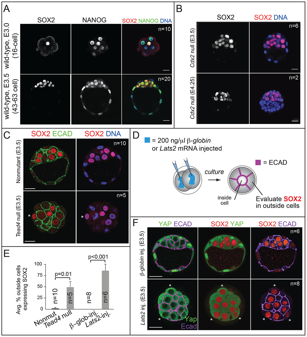 SOX2 is restricted to ICM progenitors by HIPPO pathway members and not by CDX2.