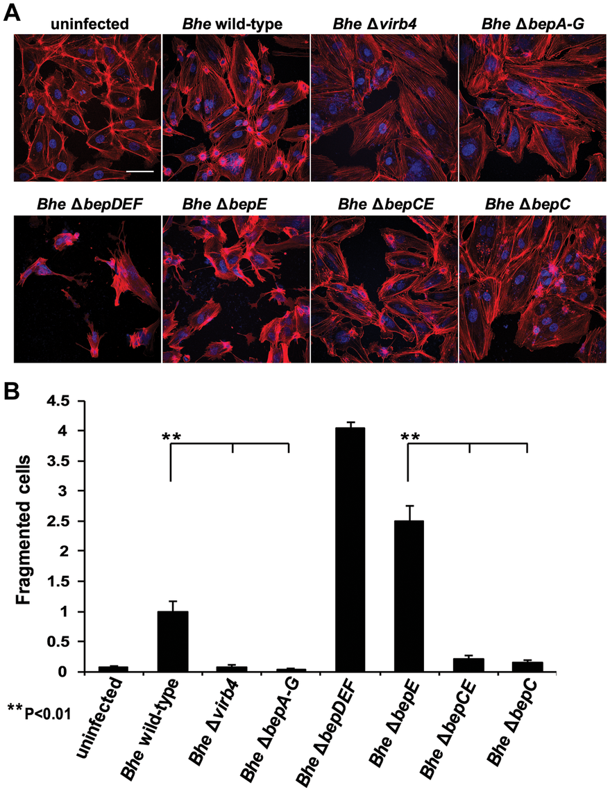 The double deletion mutant <i>Bhe</i> Δ<i>bepCE</i> abolishes cell fragmentation.
