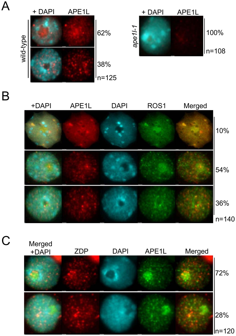 Sub-nuclear localization of APE1L and co-localization with ROS1.
