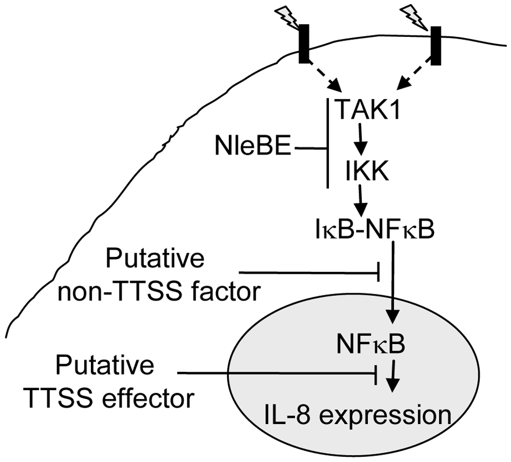 Schematic of inhibition of NF-κB signaling by EPEC.