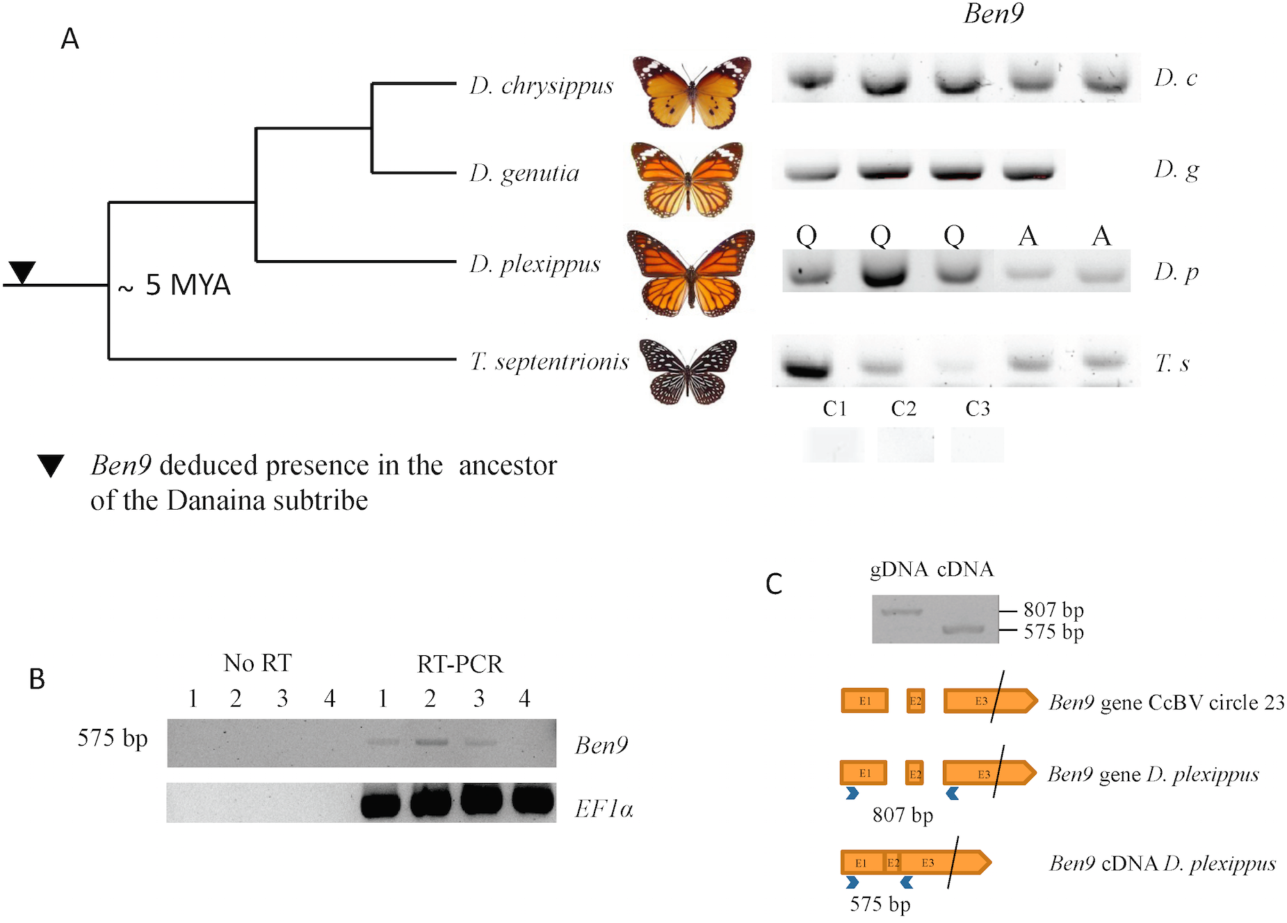 Analysis of BEN 9 encoding insertions in the <i>Danaina</i> subtribe.