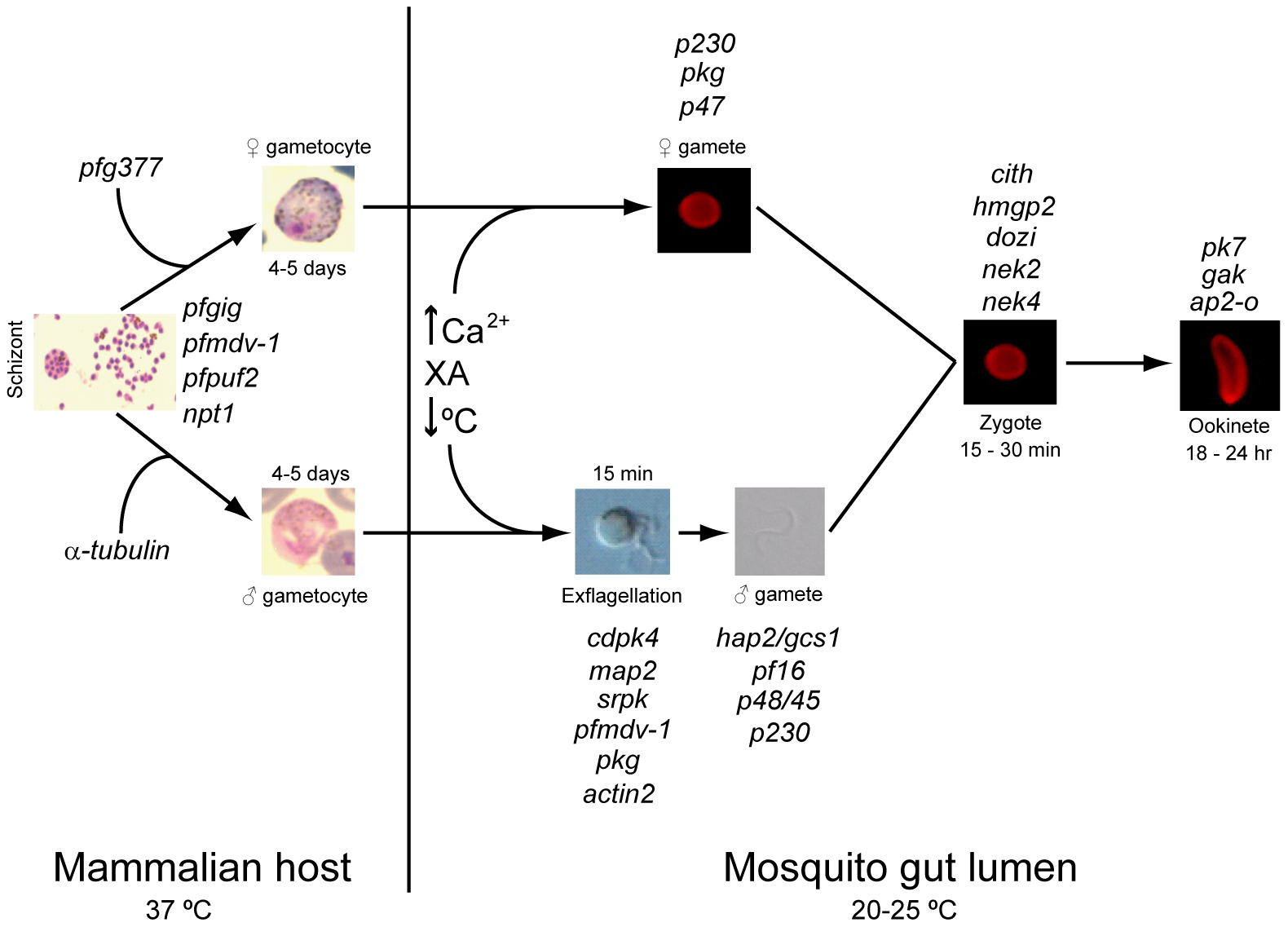Regulators of gametocytogenesis and the sexual stage of the life cycle.