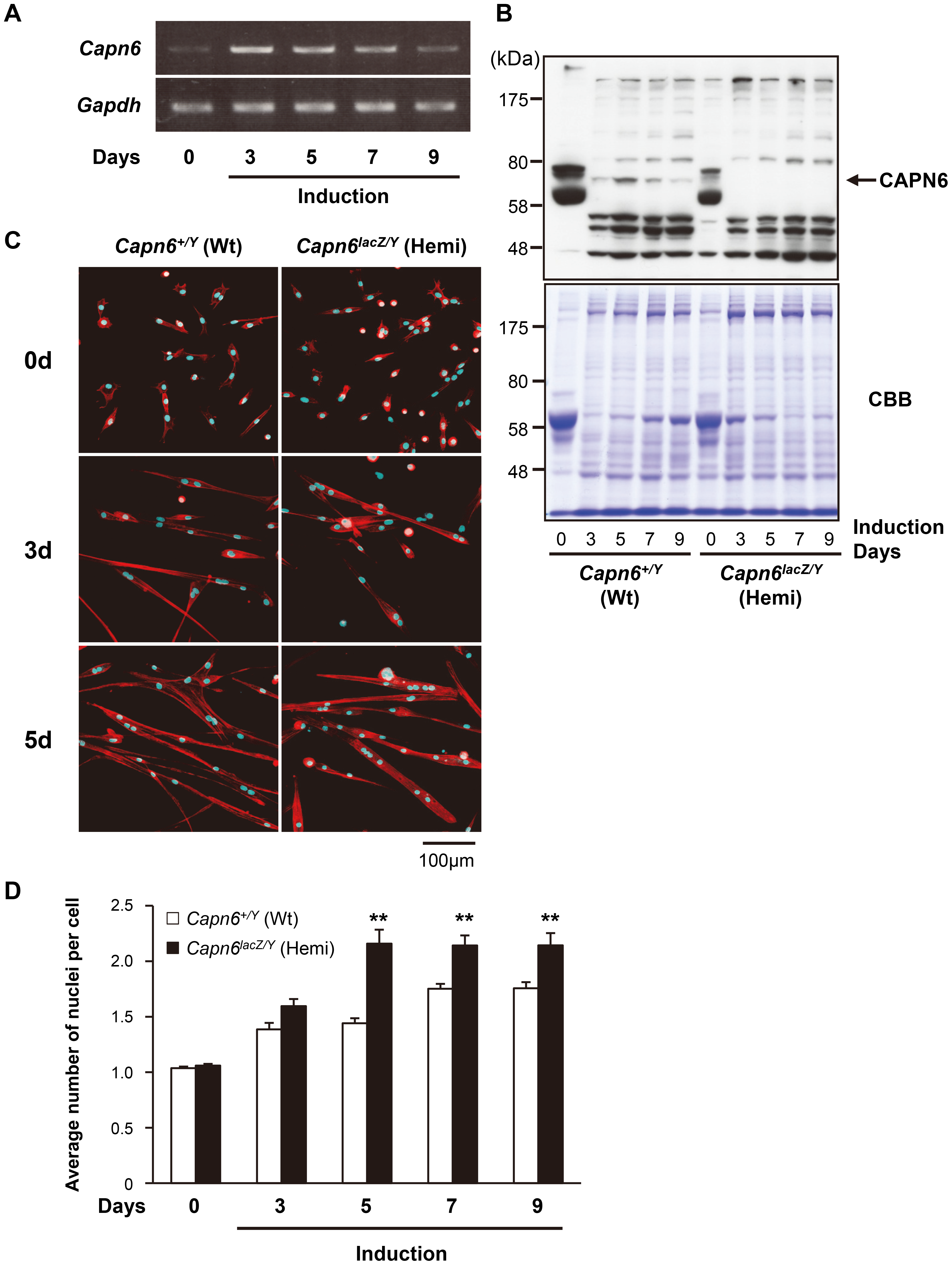 Increased differentiation of <i>Capn6</i>-deficient skm-primary cultured cells.