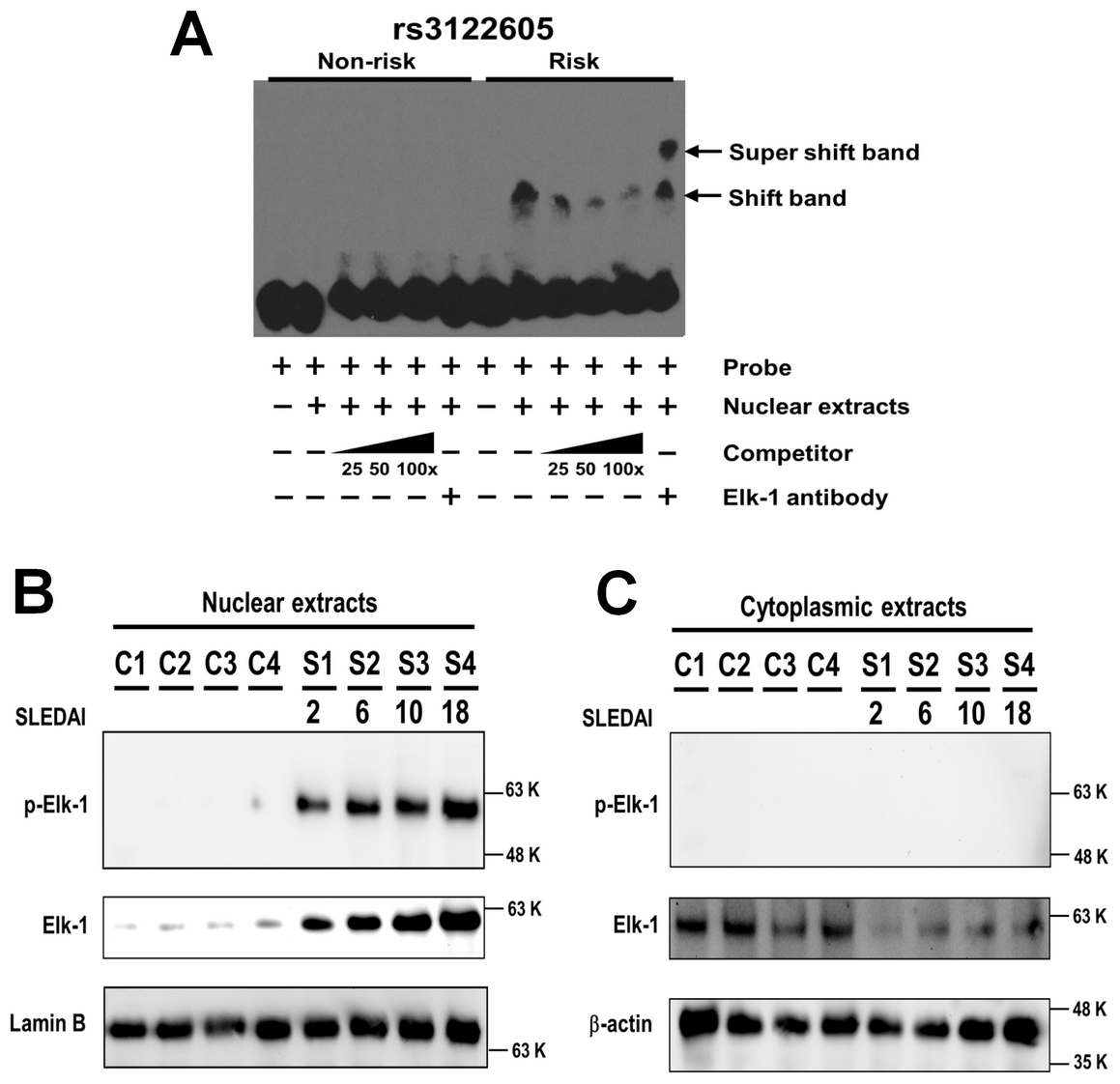 Preferential binding of rs3122605-risk allele to Elk-1, which is a transcription factor activated in peripheral lymphocytes of SLE patients.
