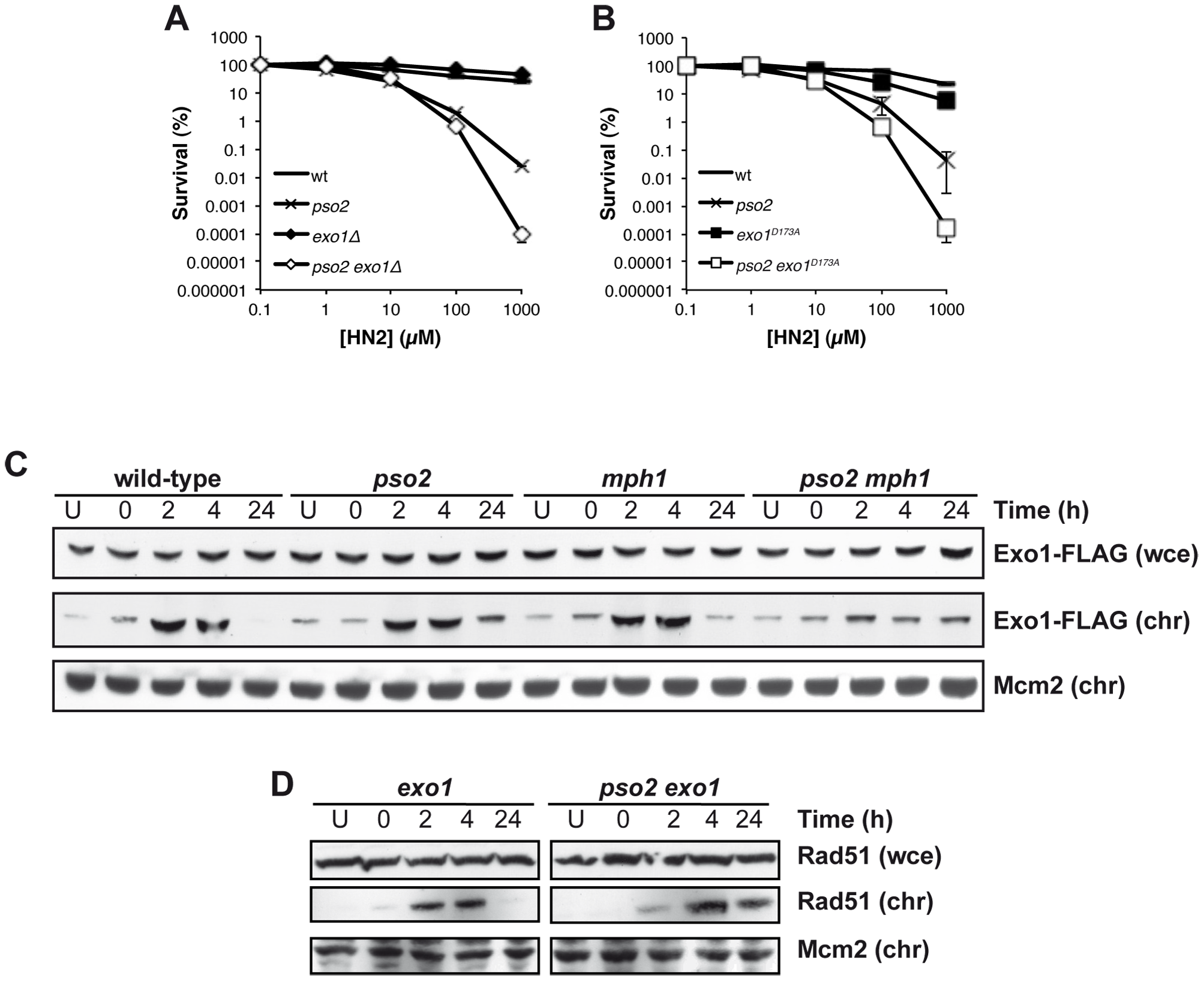 Exo 1 is involved in the pathways controlled by Pso2 and Mph1-Mgm101-MutSα.