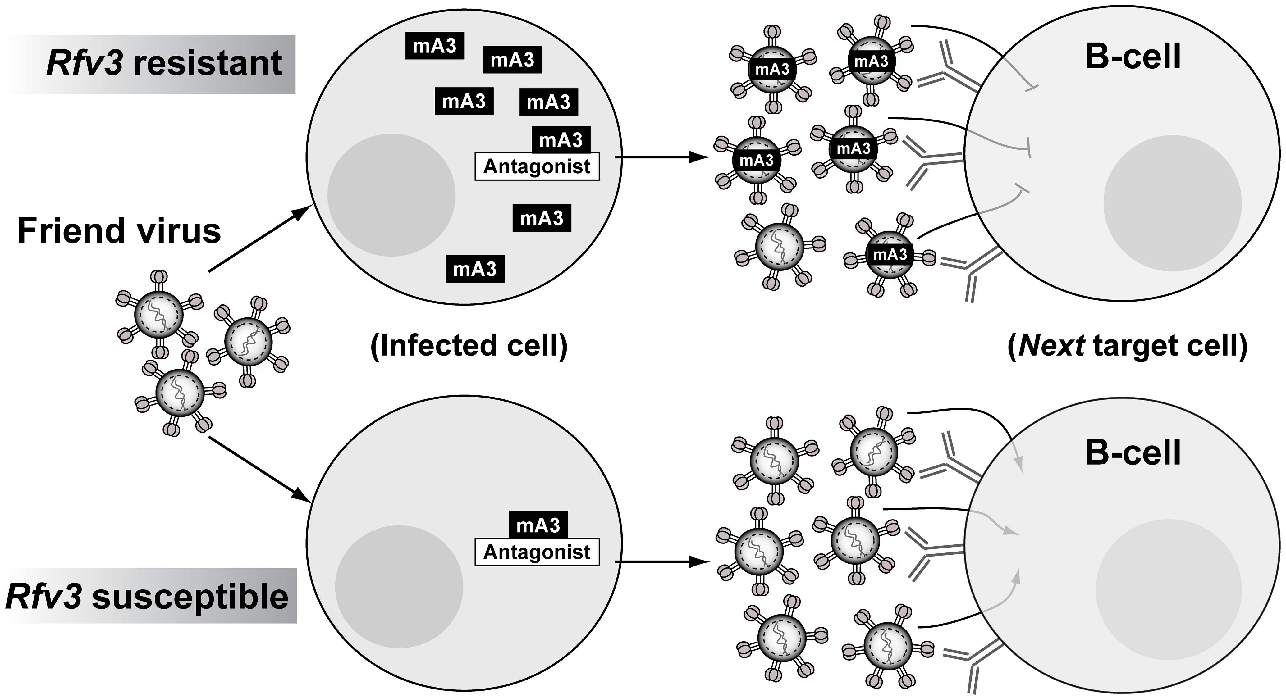 Model for mA3 action and FV-specific humoral immunity.