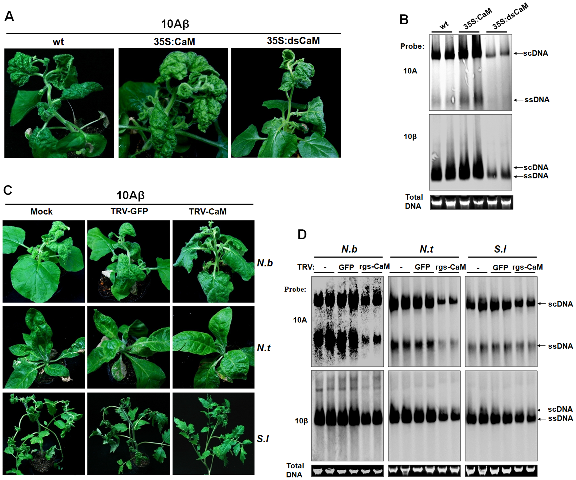 Nbrgs-CaM positively regulated the symptom and accumulation of 10Aβ.