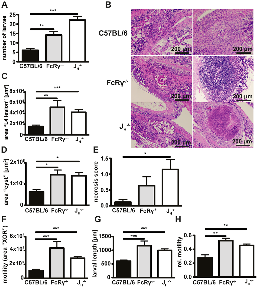 Antibody and FcRgamma-chain deficient mice show increased larval burdens, larger granulomas, a stronger tendency to develop necrosis and higher in-tissue motility as compared to wildtype mice.
