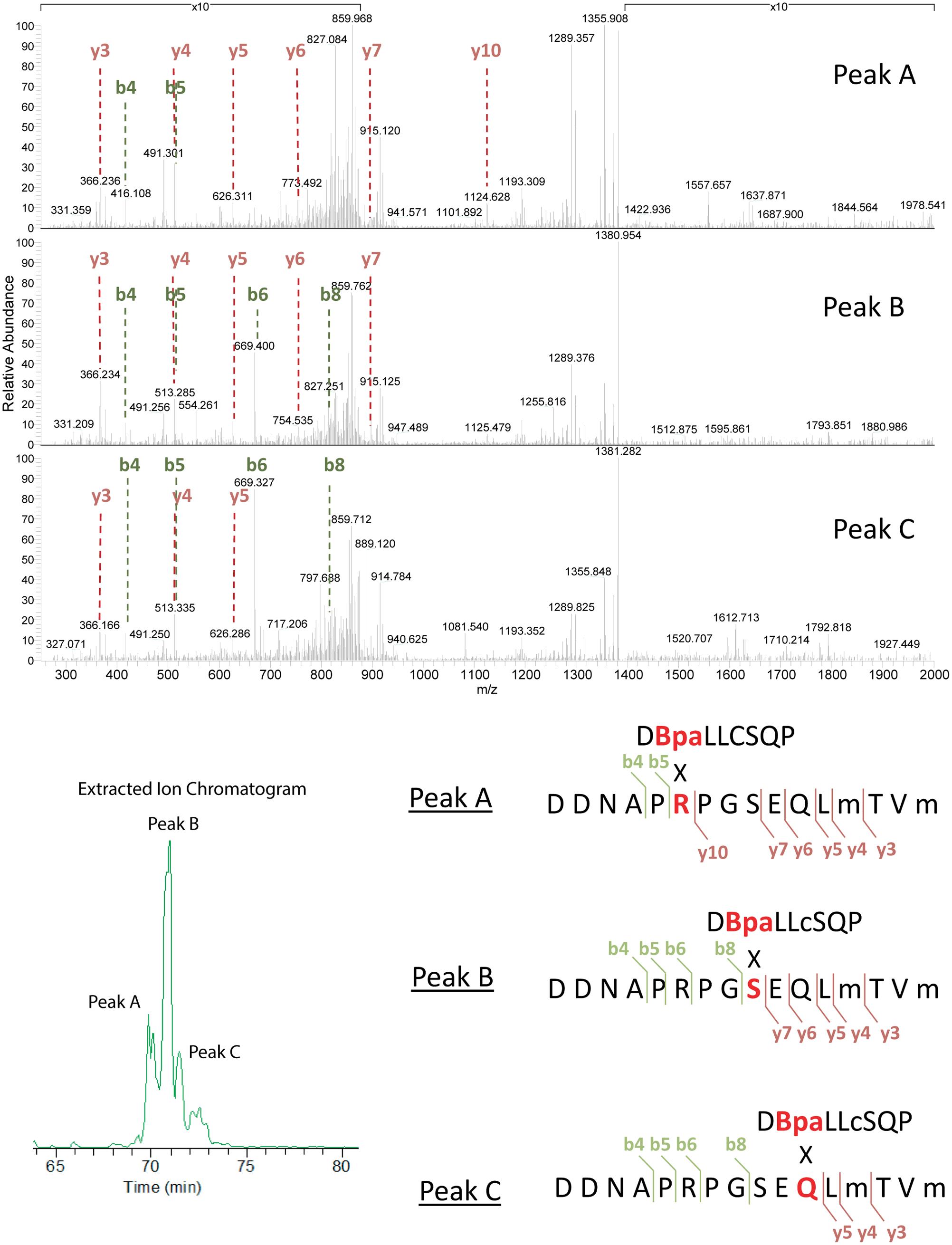 Analysis of cross-linked RecA-UmuC product #1.