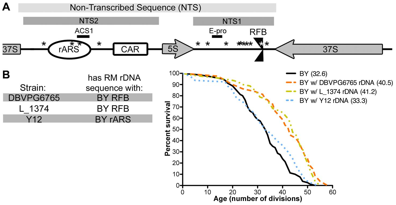 Polymorphism in the rDNA origin of replication mediates replicative lifespan.