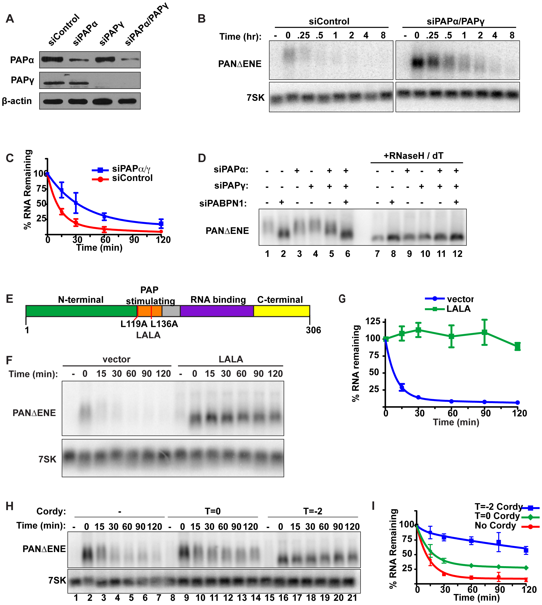 Polyadenylation is required for PANΔENE RNA decay.