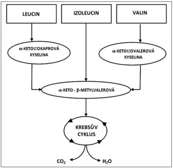 Metabolismus glutaminu a alaninu