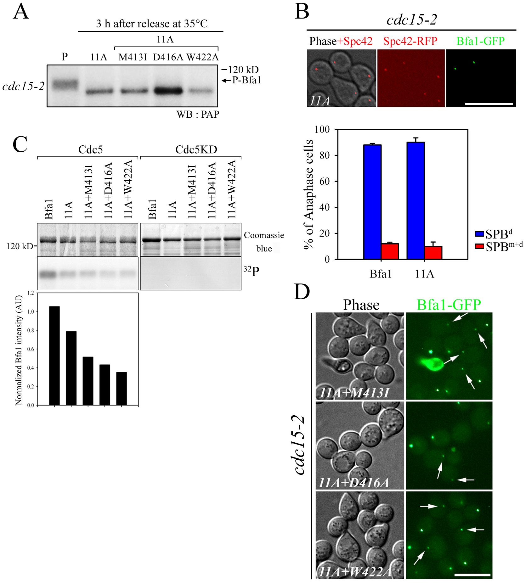 The localization and phosphorylation of Bfa1-11A, Bfa1<sup>M413I</sup>-11A, Bfa1<sup>D416A</sup>-11A, and Bfa1<sup>W422A</sup>-11A.