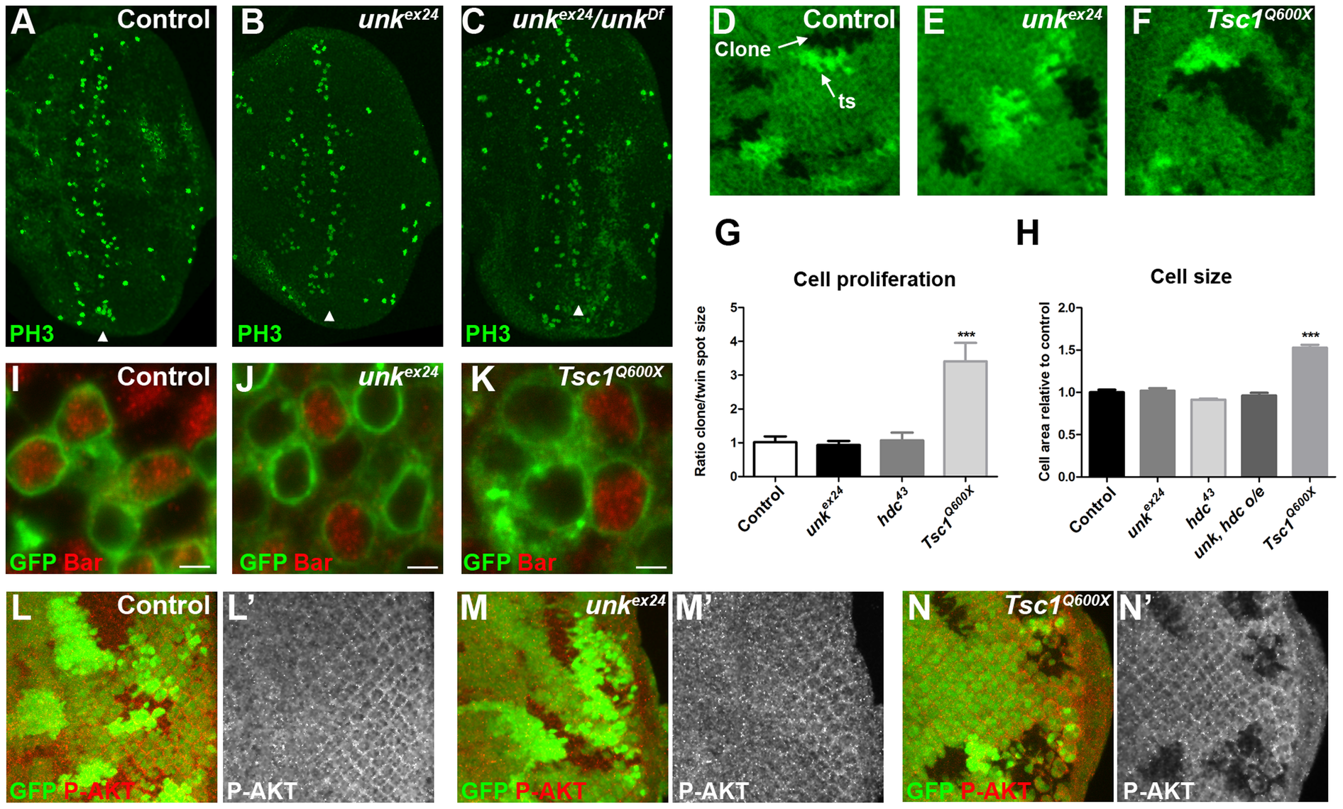 <i>unk</i> does not regulate cell growth.