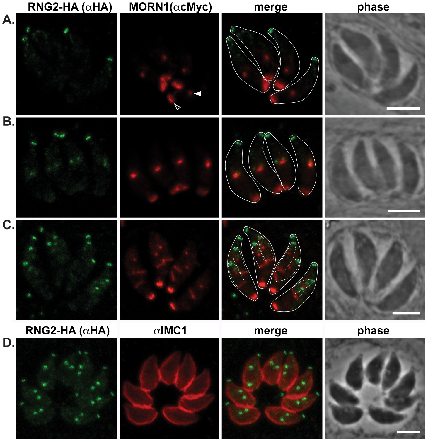 RNG2 appears before centrocone duplication or IMC1 association with daughter pellicles.