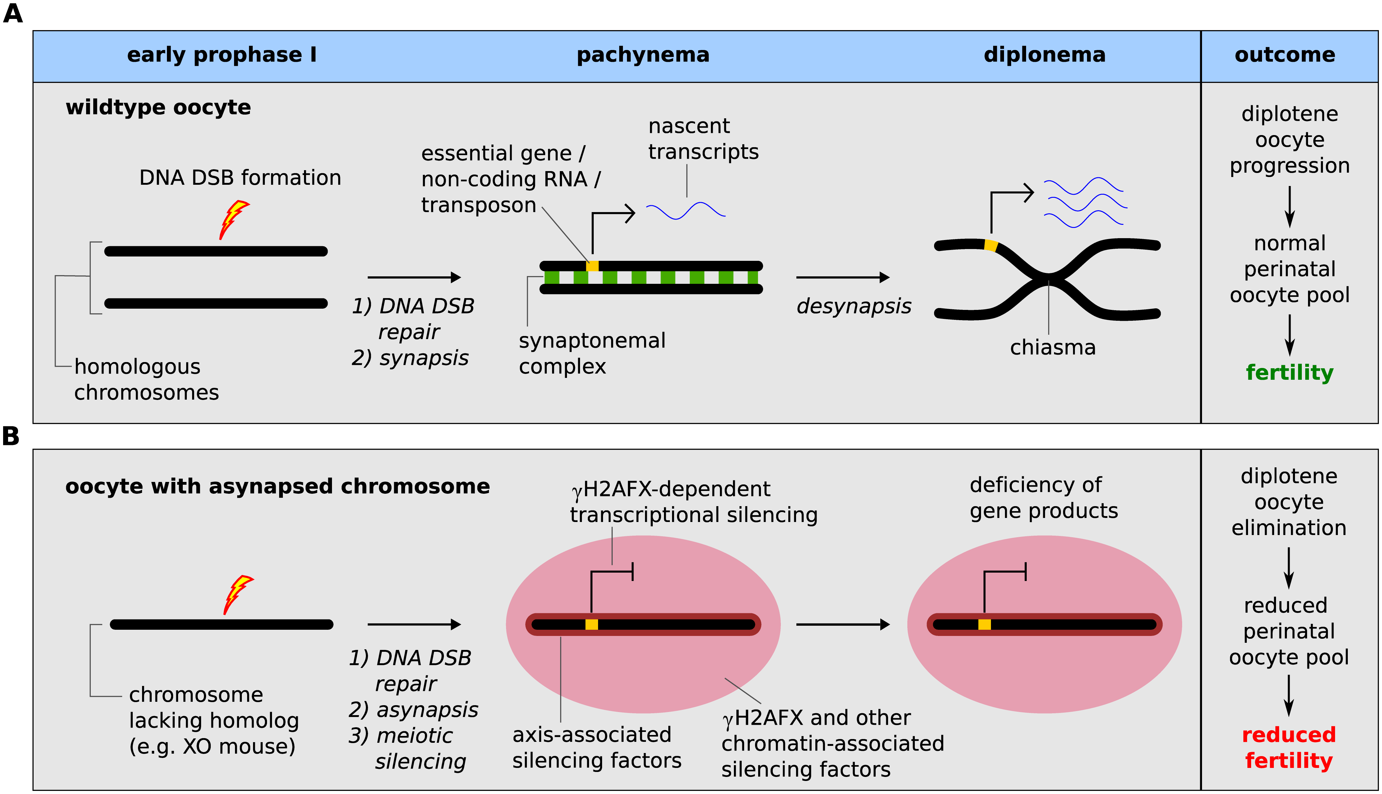 Meiotic silencing model of prophase I oocyte elimination.