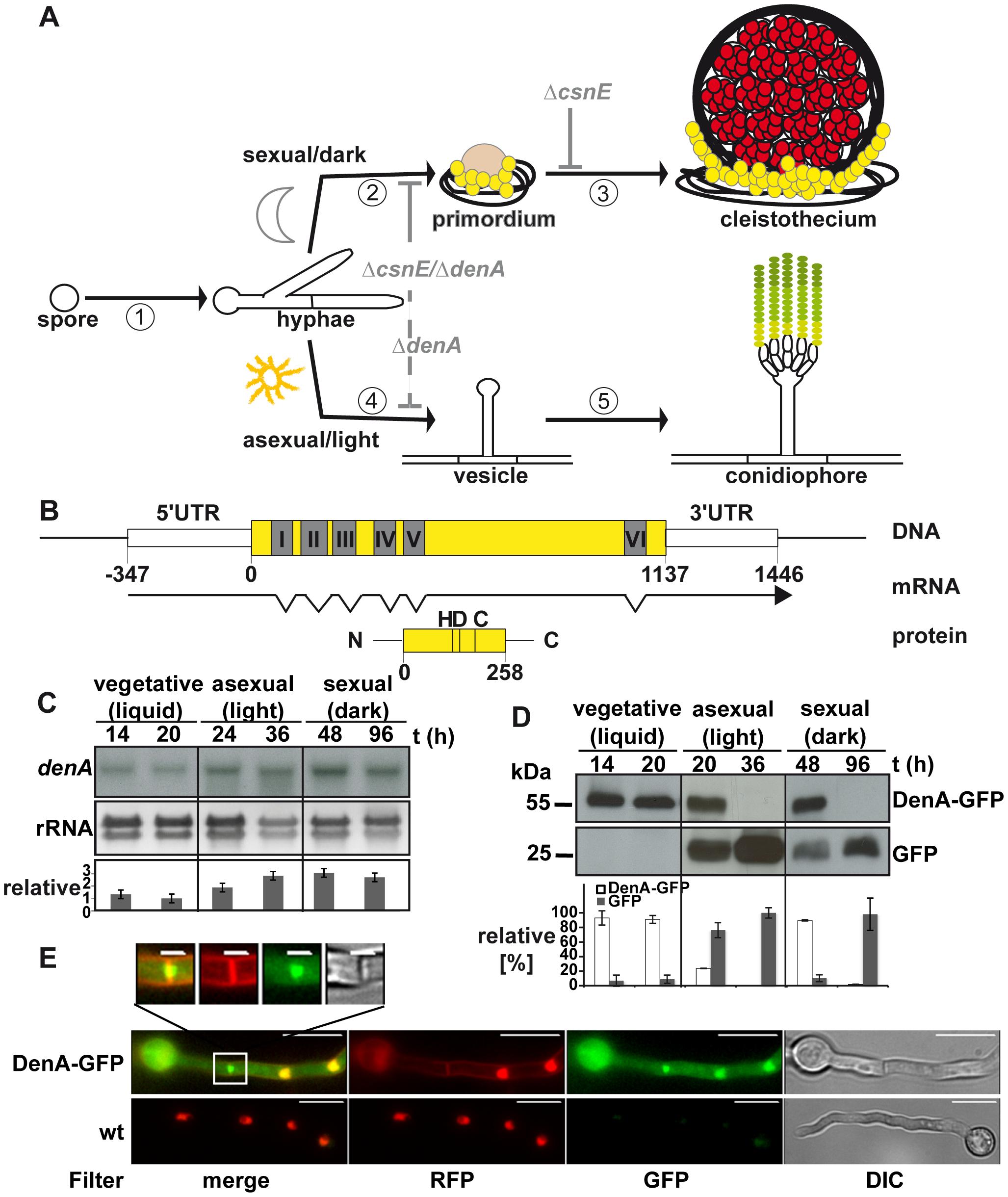 Expression and localization of the DEN1 homolog DenA (AN10456) during development of the fungus <i>Aspergillus nidulans</i>.