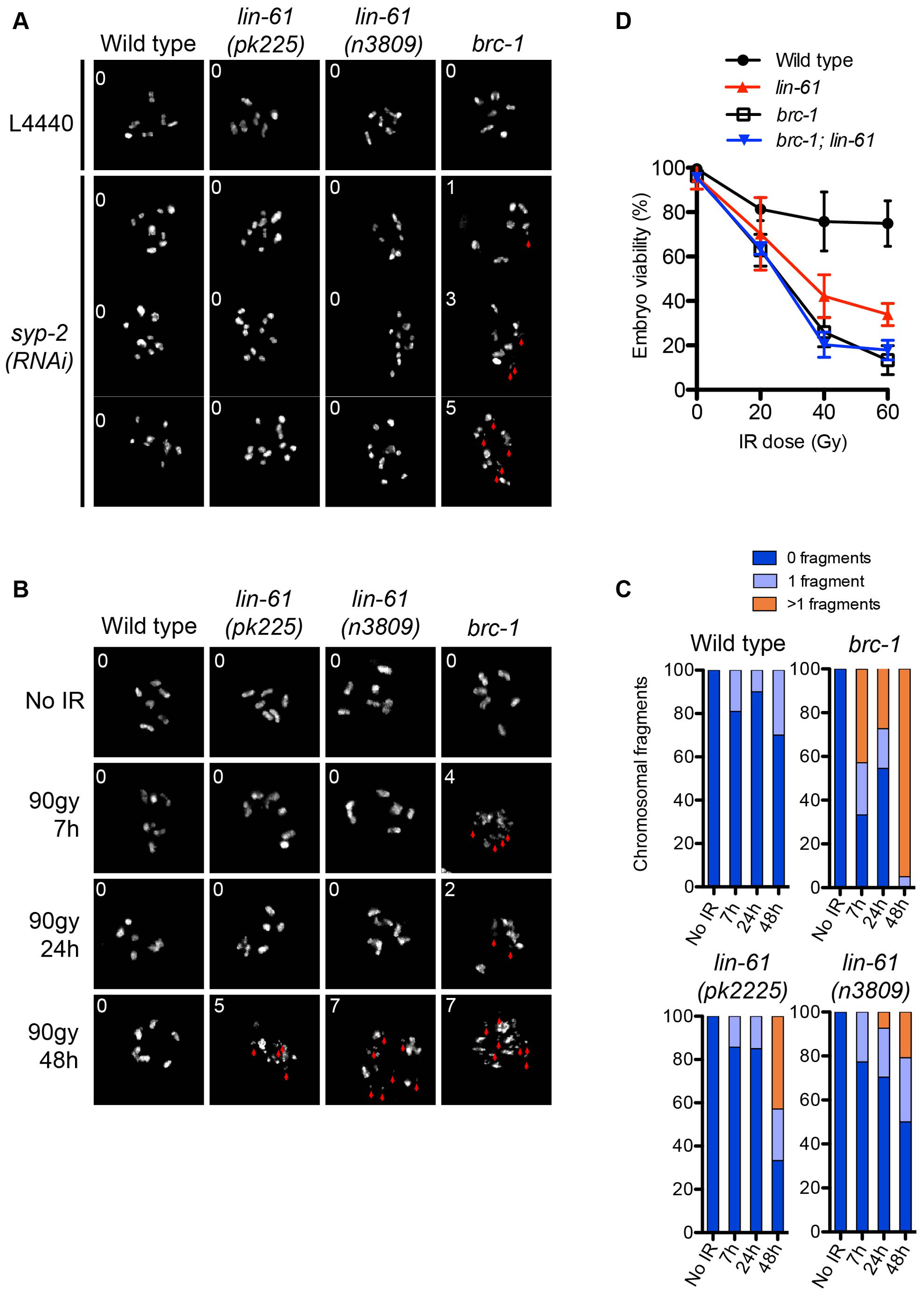 LIN-61 contributes to HR in mitotic cells, but is dispensable for meiotic HR.