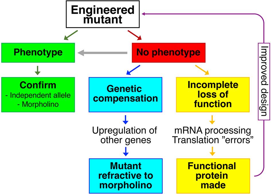 Reverse genetics and mutant phenotypes.