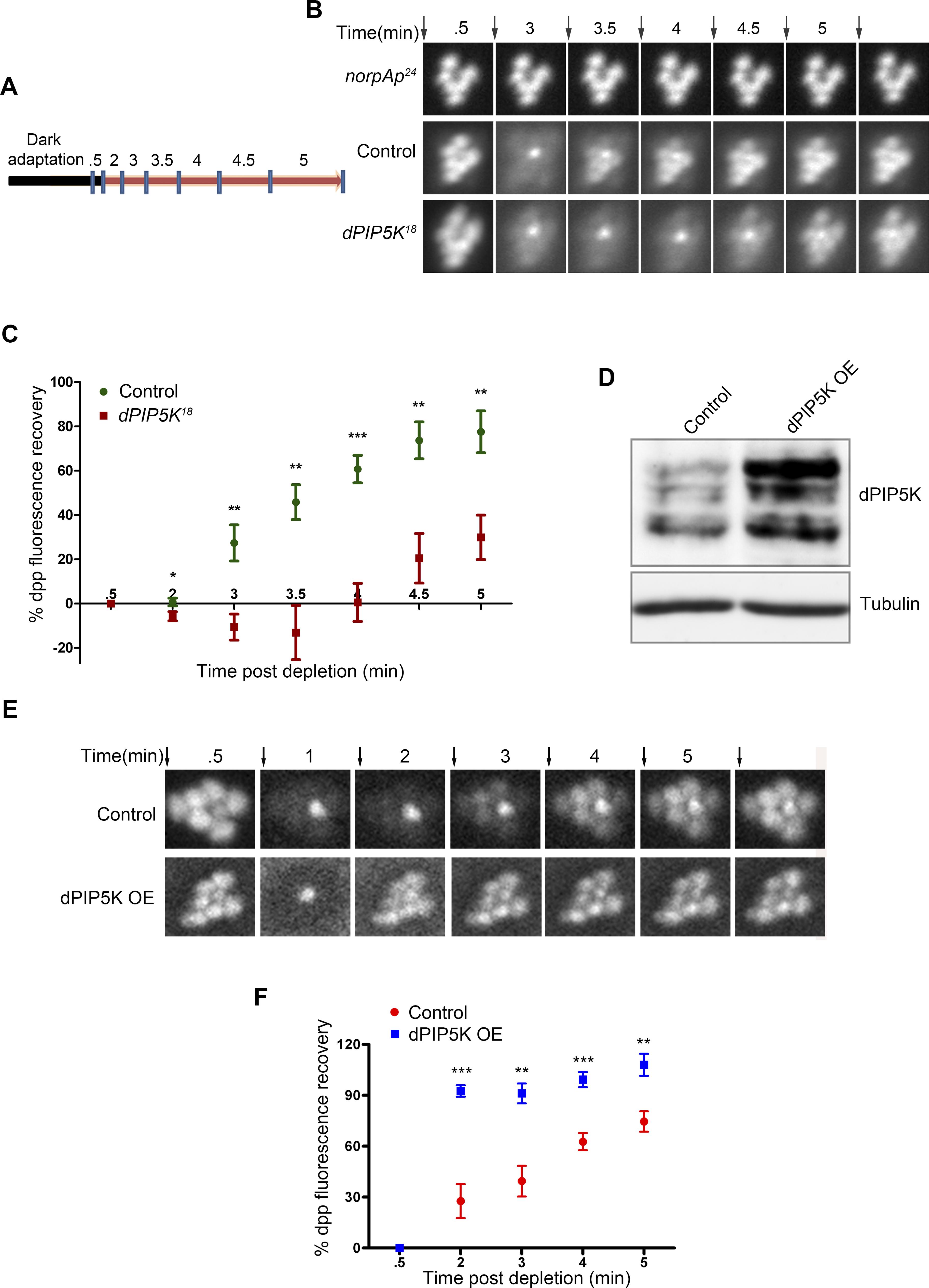 dPIP5K controls PIP<sub>2</sub> dynamics in <i>Drosophila</i> photoreceptors.