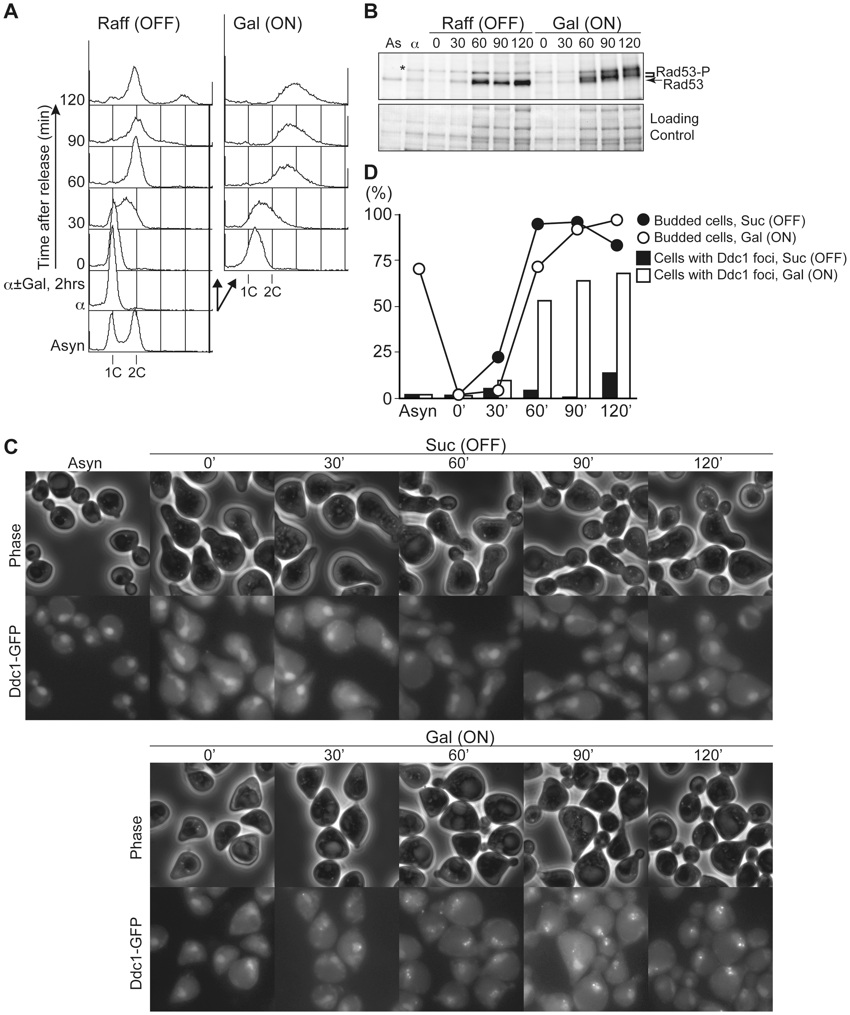 Untimely DNA replication conferred the accumulation of phosphorylated Rad53 and Ddc1 foci after S phase.