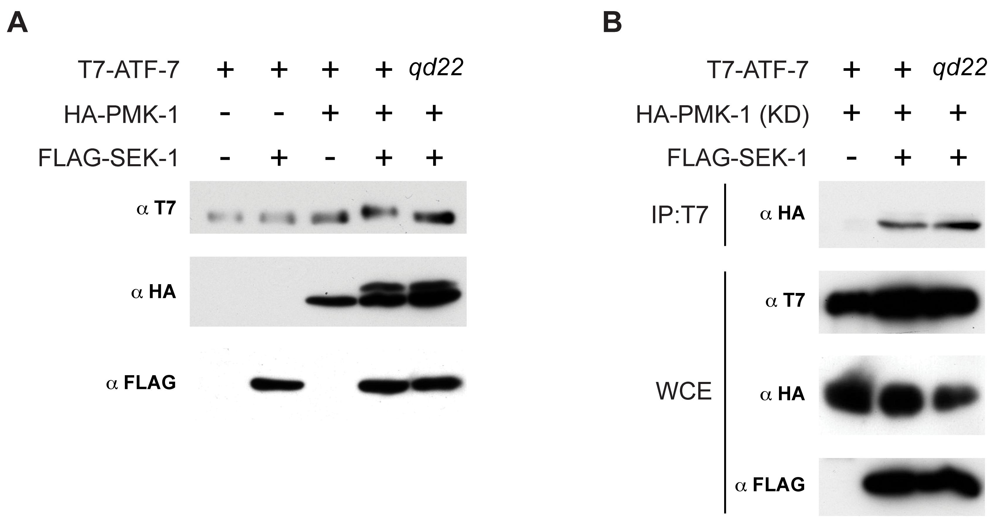 Phosphorylation of ATF-7 by PMK-1.