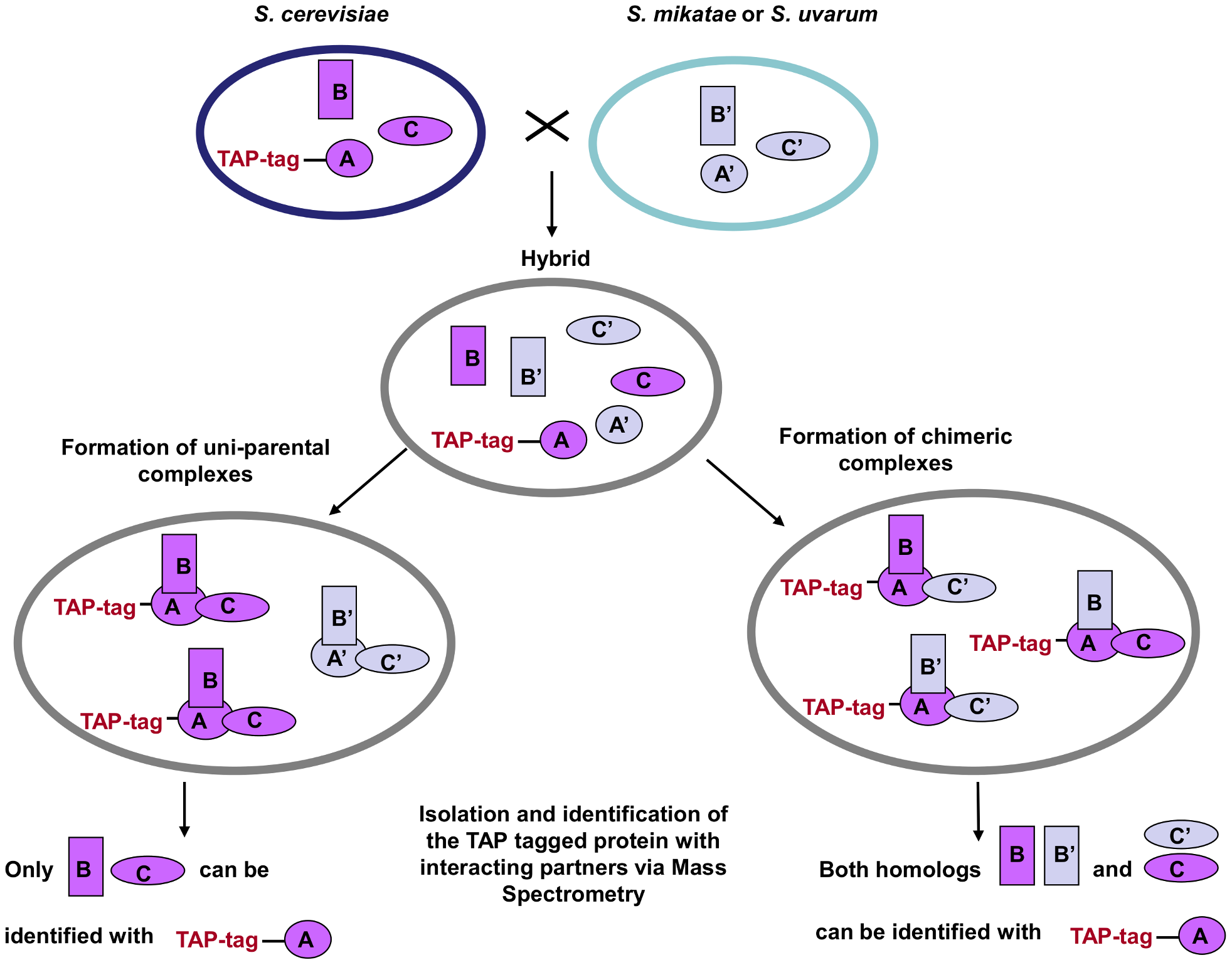 TAP-strategy for recovery and identification of hybrid protein complexes.
