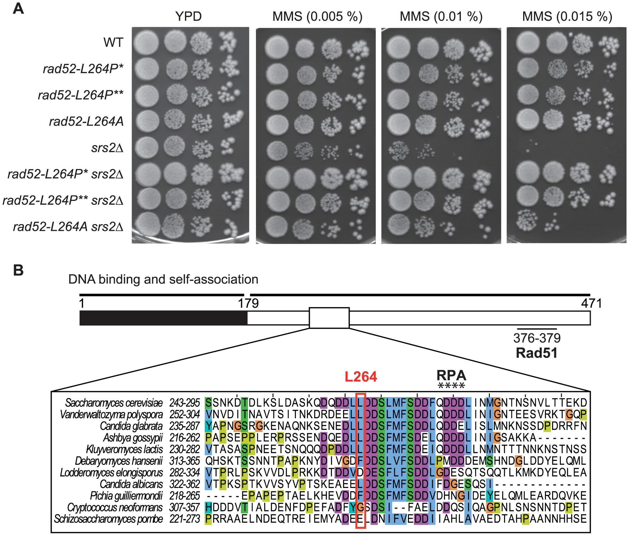 Characterization of <i>rad52-L264P</i>, a suppressor of the MMS sensitivity of <i>srs2</i>Δ mutants that avoid the formation of toxic recombination intermediates.
