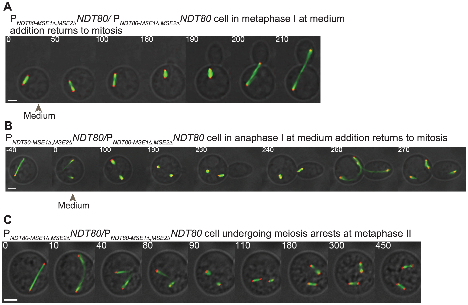 Disruption of positive feedback in <i>NDT80</i> expression results in inappropriately uncommitted cells.