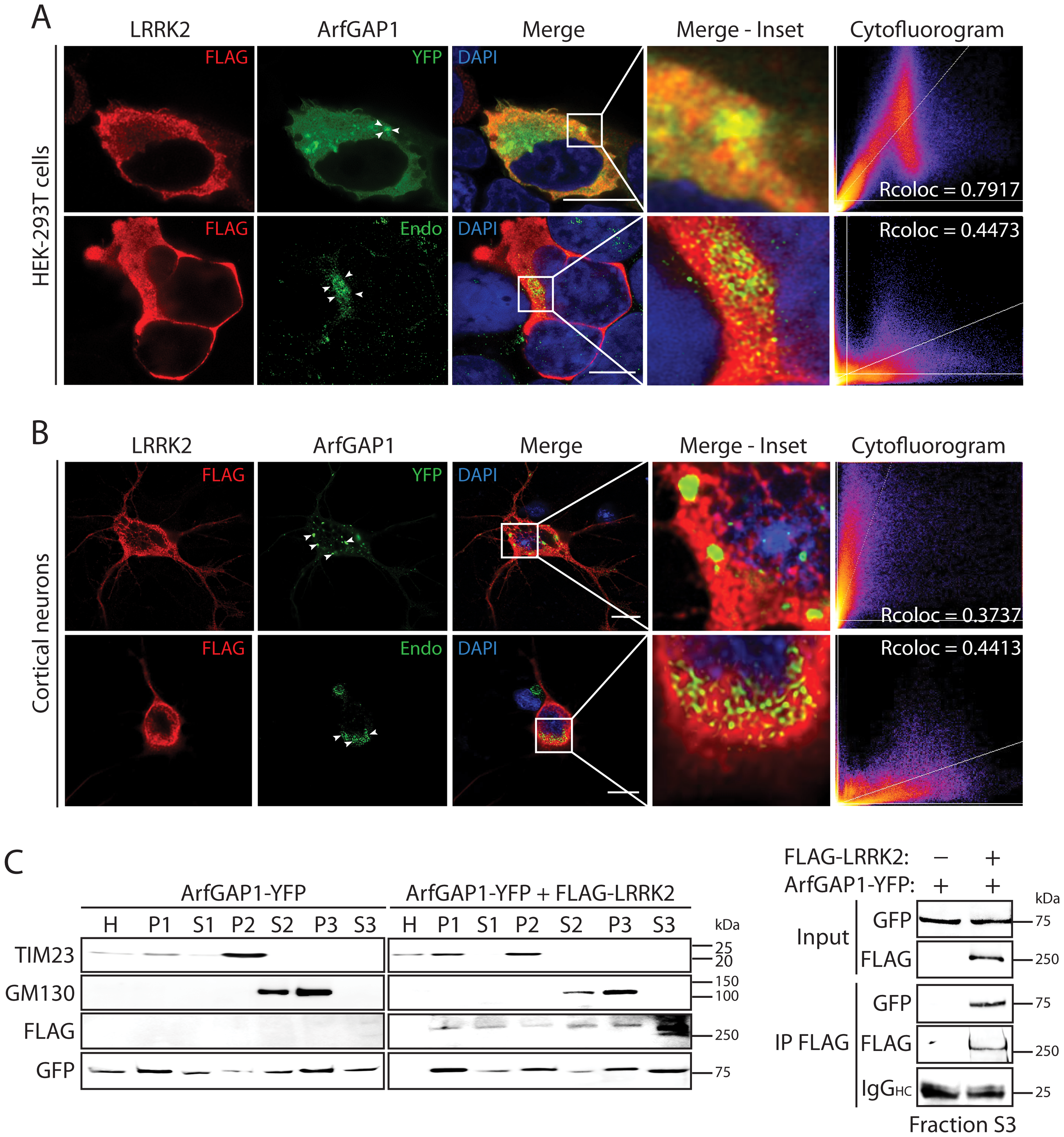 Co-localization of LRRK2 and ArfGAP1 in mammalian cells and neurons.