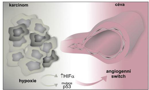 """Angiogenní """"switch"""" – změna zahajující proces angiogeneze."""