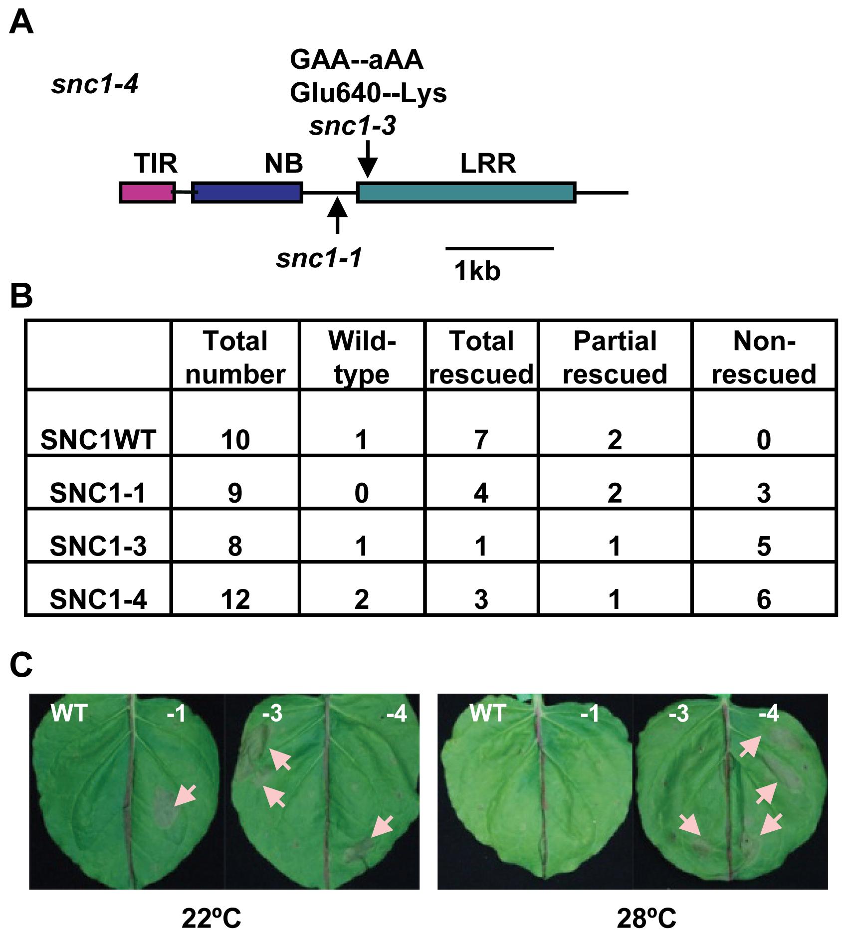 The <i>snc1-3</i> mutation confers enhanced defense responses at a high temperature.