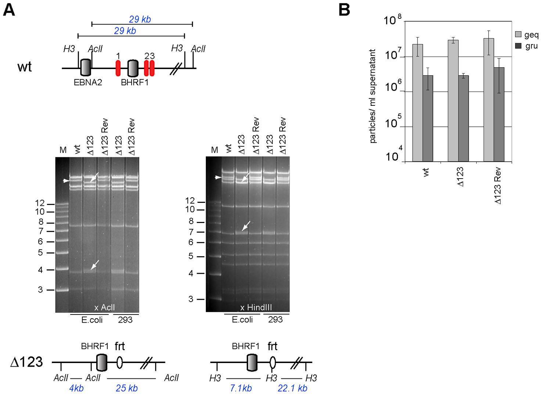 Characterization of viral recombinants.