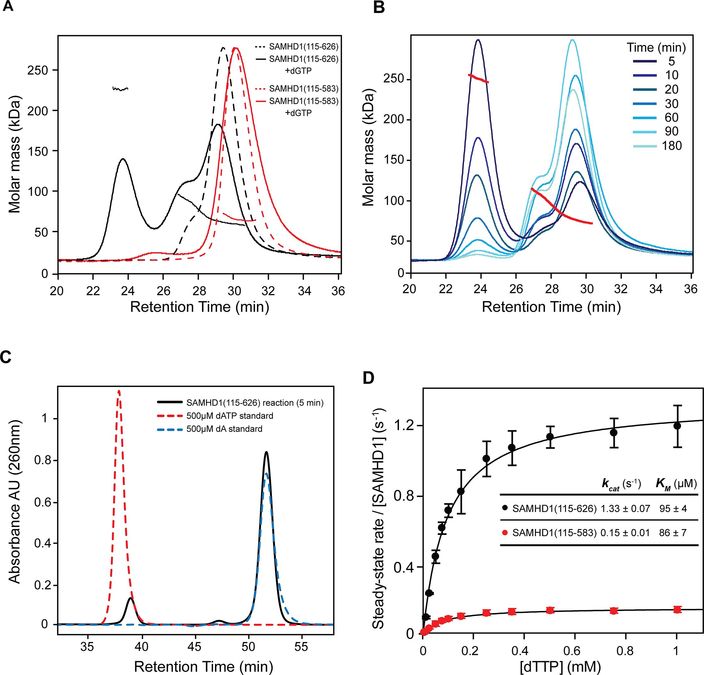 Solution oligomeric state and steady state kinetics of SAMHD1.