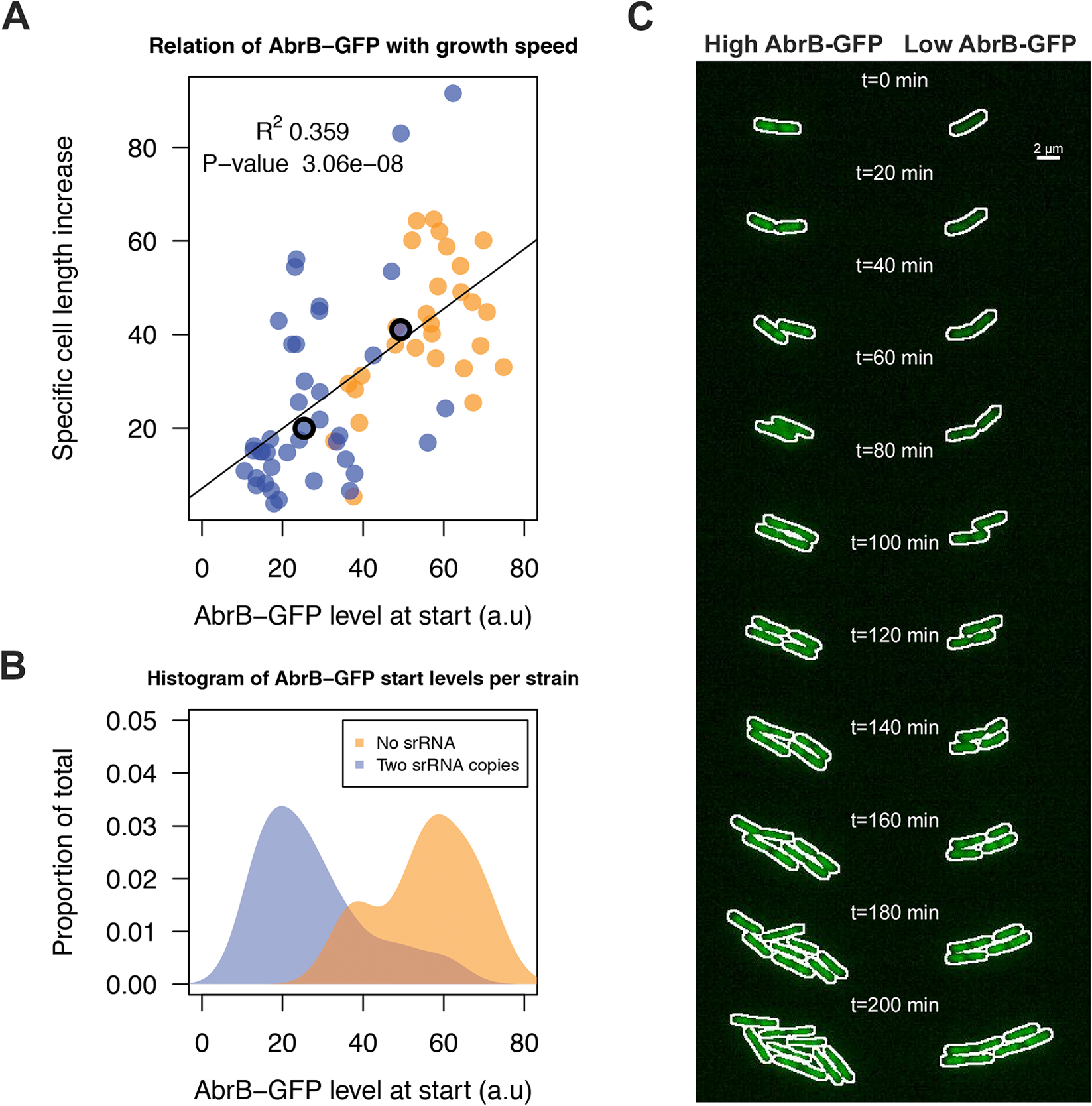 RnaC/S1022-induced variation in AbrB-GFP levels leads to heterogeneity in growth rates.
