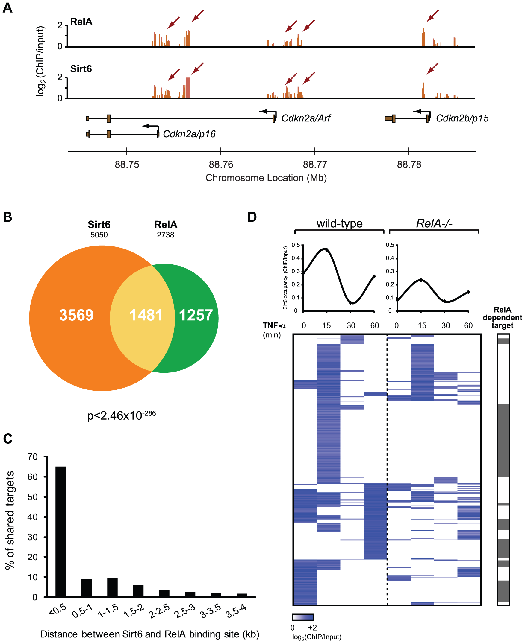 RelA drives dynamic relocalization of Sirt6.