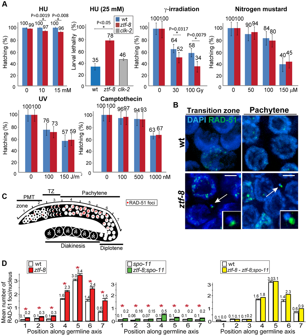 ZTF-8 is required for DNA repair in both mitotic and meiotic germline nuclei.