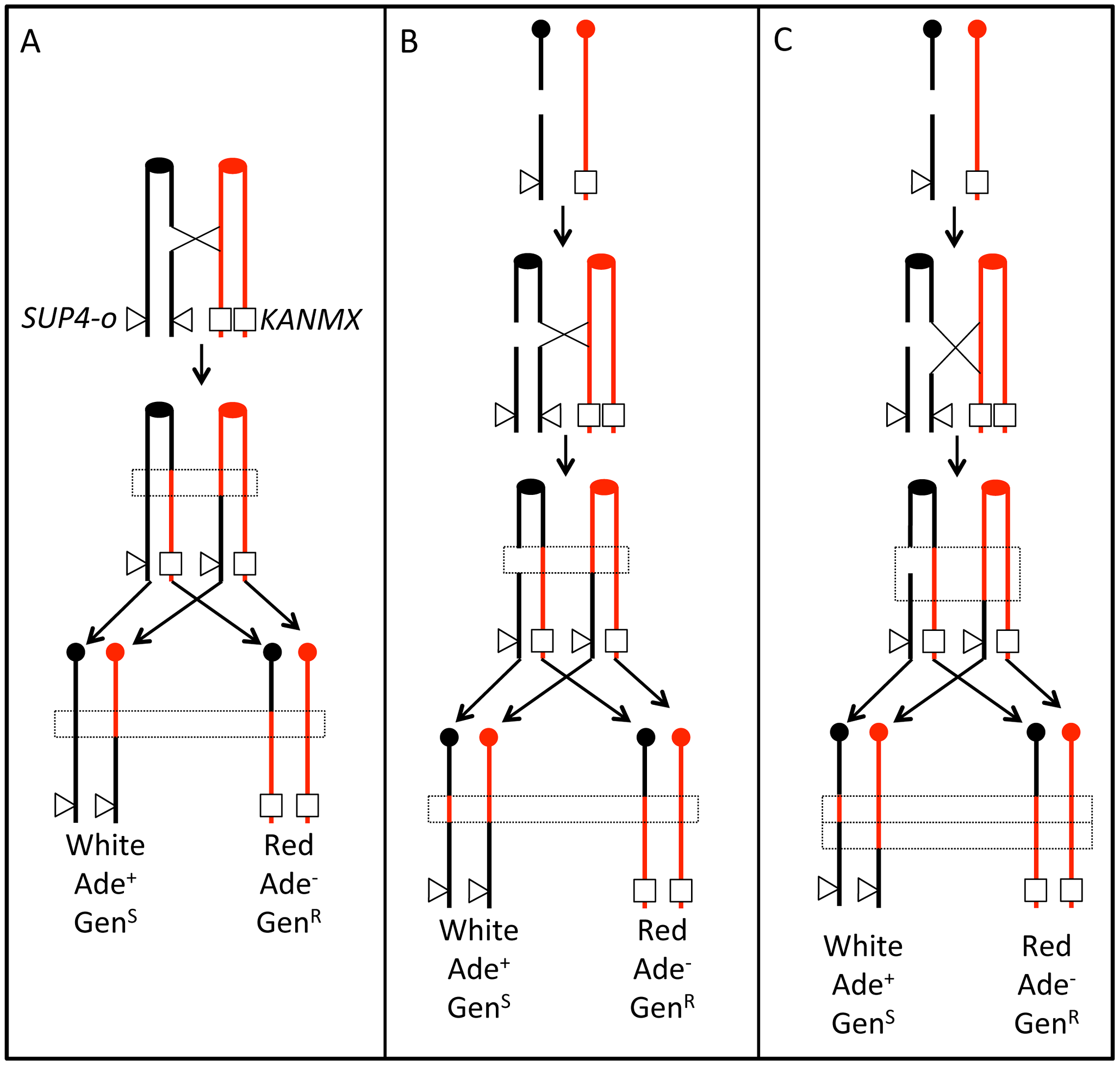 Patterns of gene conversion resulting from the repair of G1- or G2-generated DSBs.