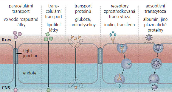 Transportní systémy hematoencefalické bariéry.