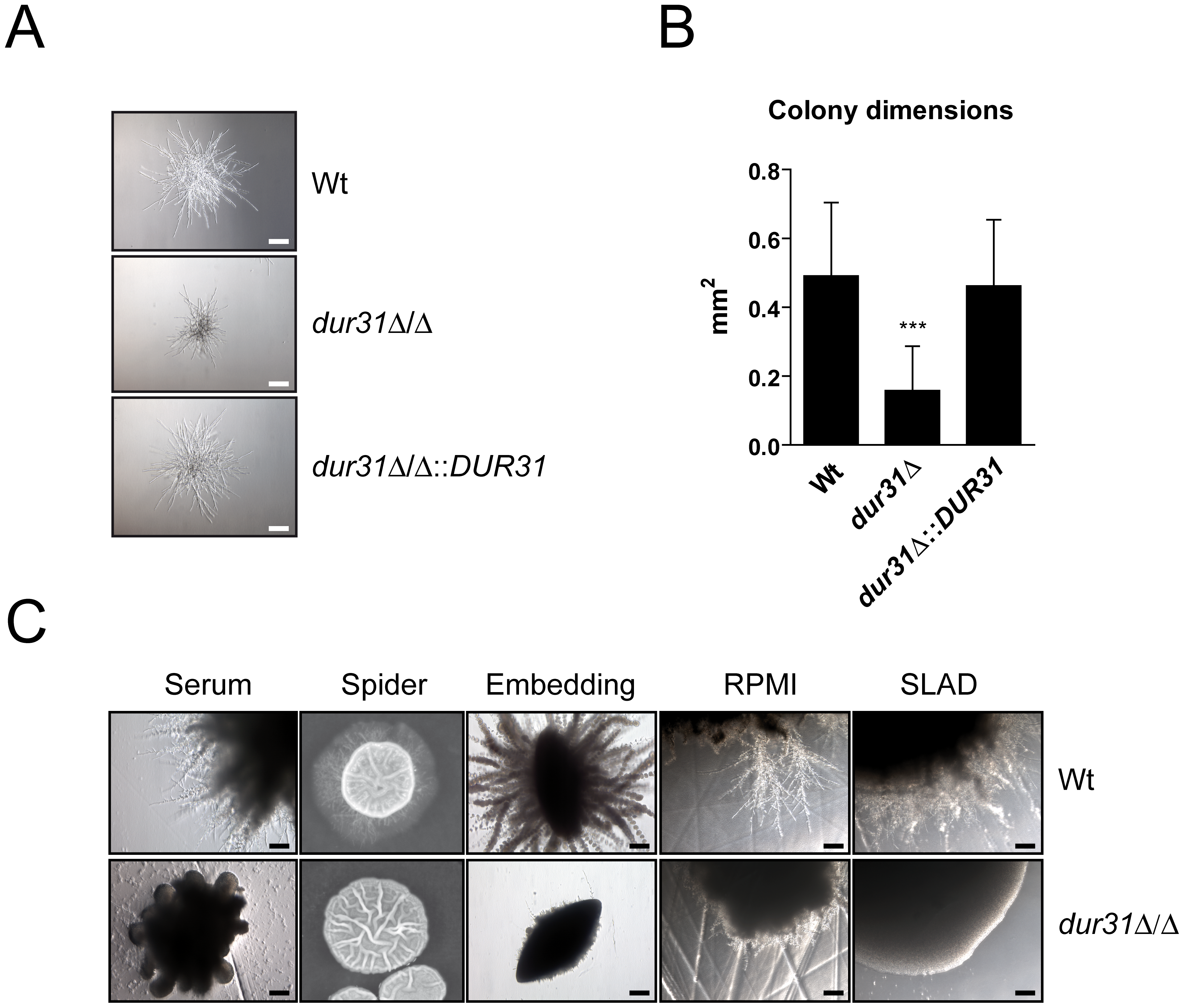 Dur31 is required for filamentous colony formation.