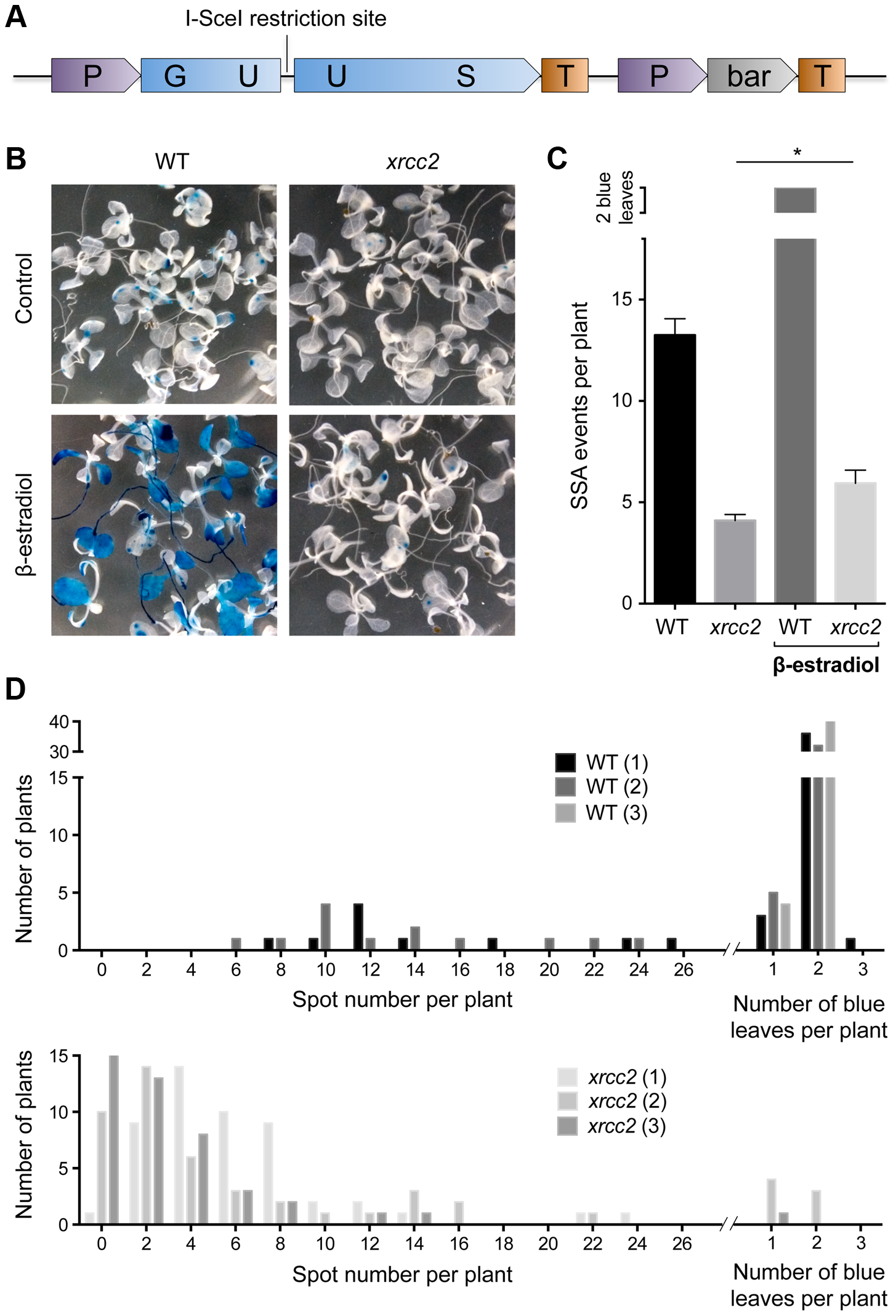 I-SceI induced DGU.US recombination depends upon XRCC2.